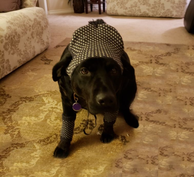 Black Lab with polka dot hat and matching legwarmers