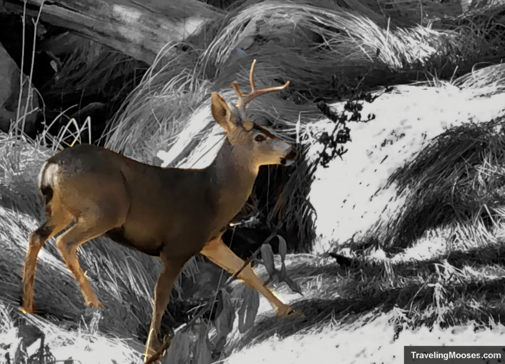 Deer on San Jacinto trail
