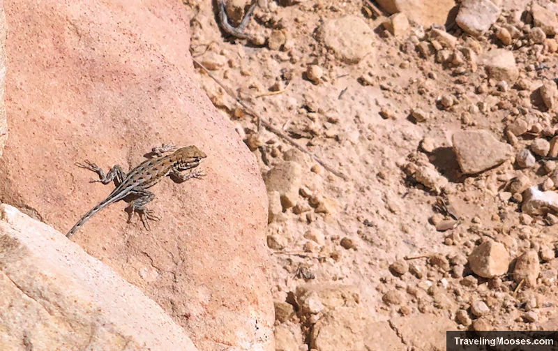 Lizard in Red Rock Canyon on Calico Tanks trail