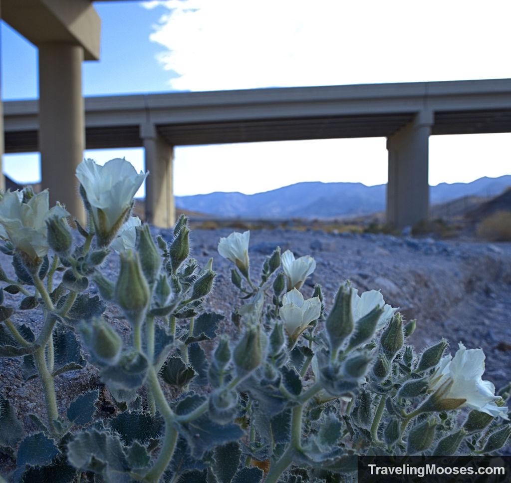 Desert wild flowers on white rock canyon trail