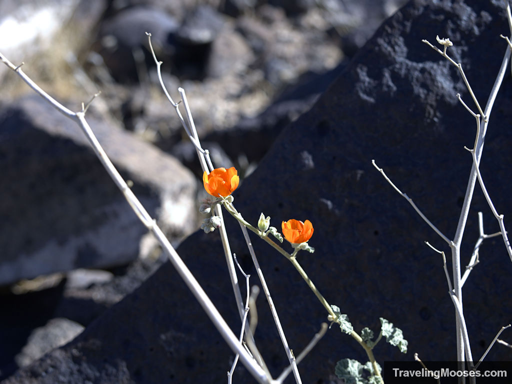 Orange wildflowers with manganese black rocks