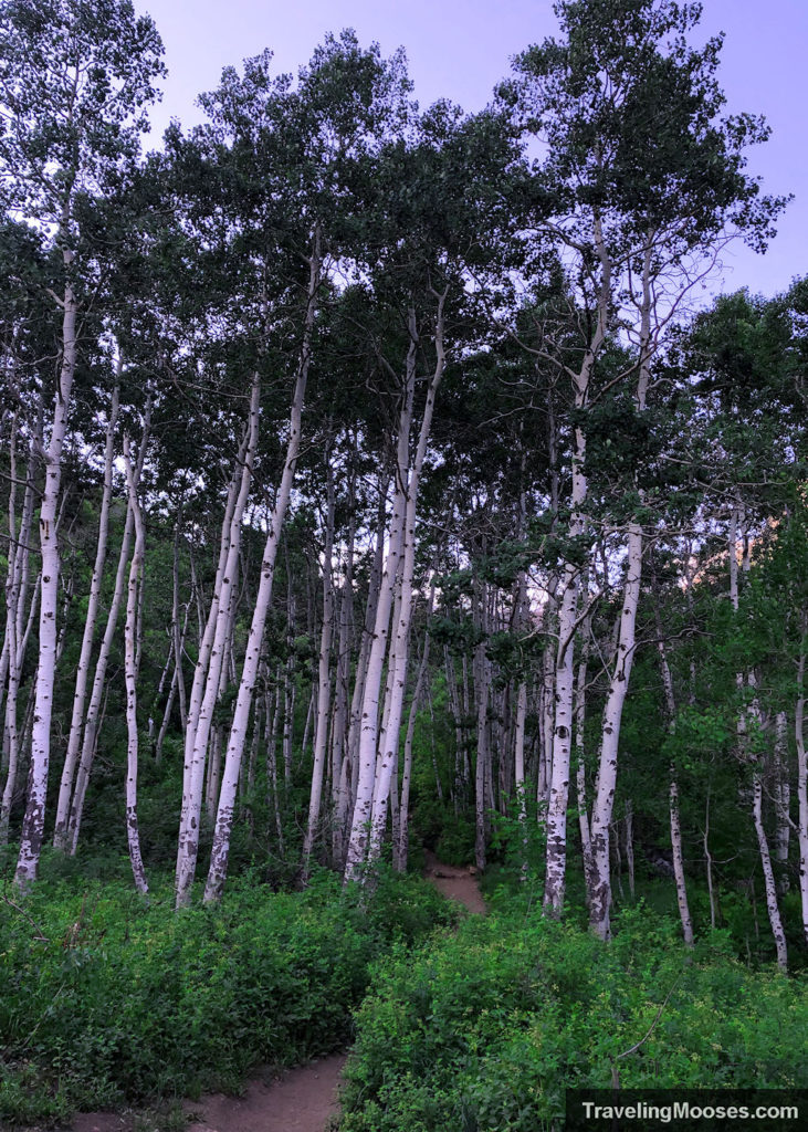 Birch trees in Wasatch national forest