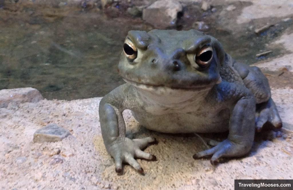 Desert toad at Arizona Sonora desert museum