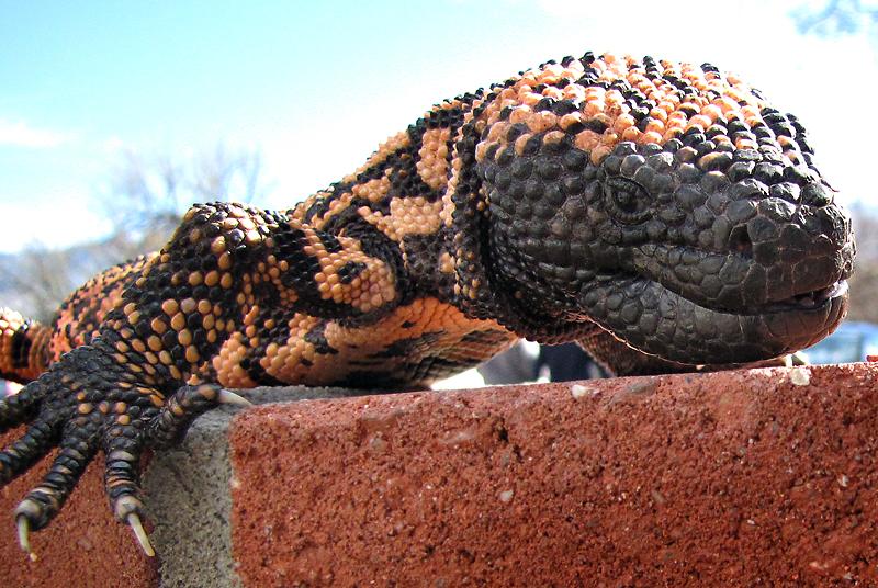 Gila Monster at Arizona Sonora Desert Museum