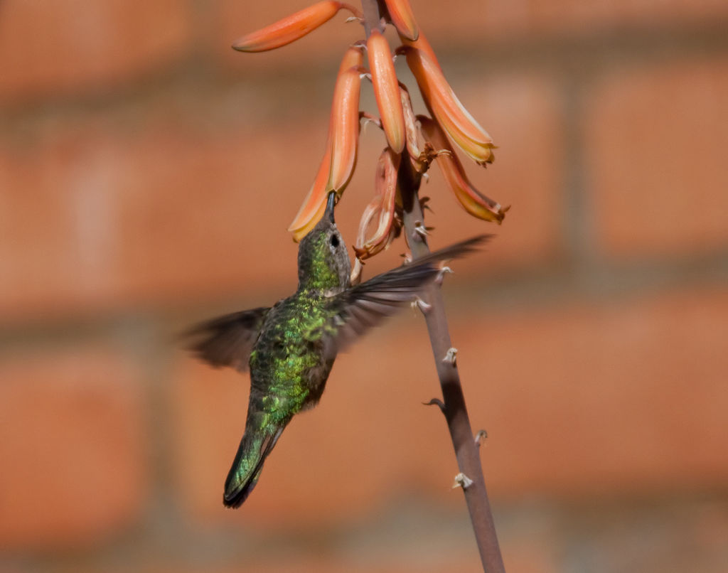 Green hummingbird sipping nectar