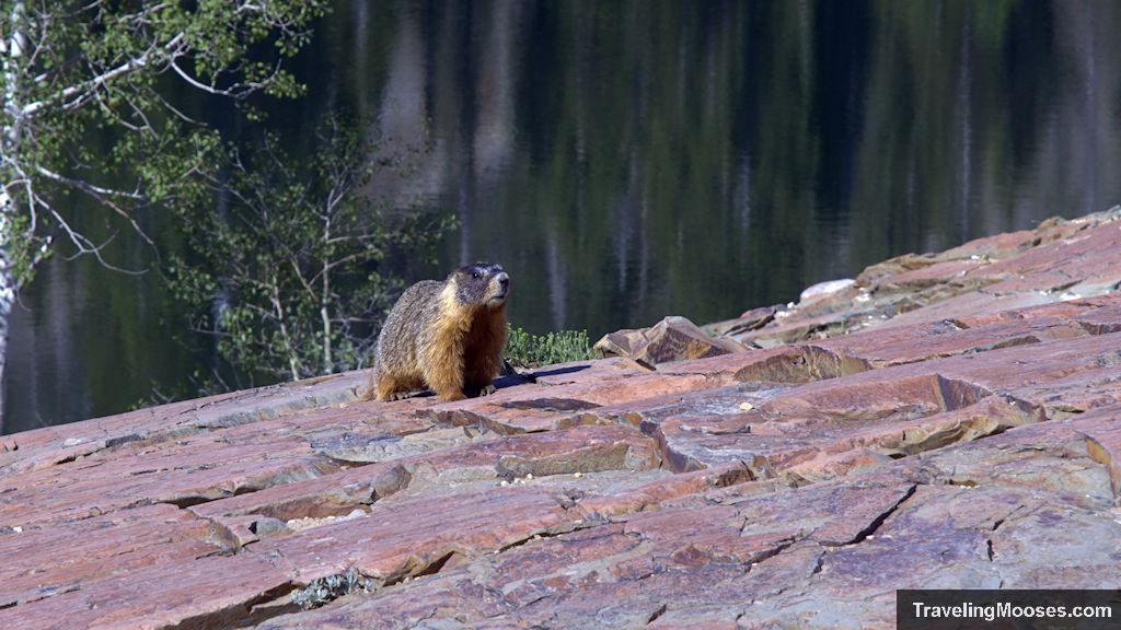 Large Marmot at Lake Blanche in Utah
