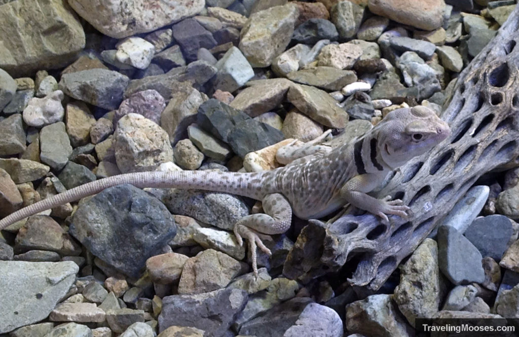 Gray lizard with black rings on neck