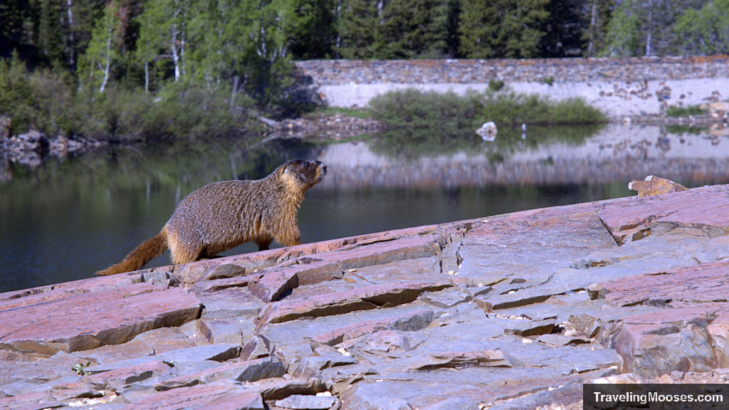 Marmot with Lake Blanche in Utah in the background