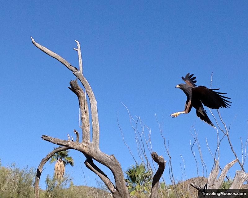 Black raptor in flight ready to land on a dead tree