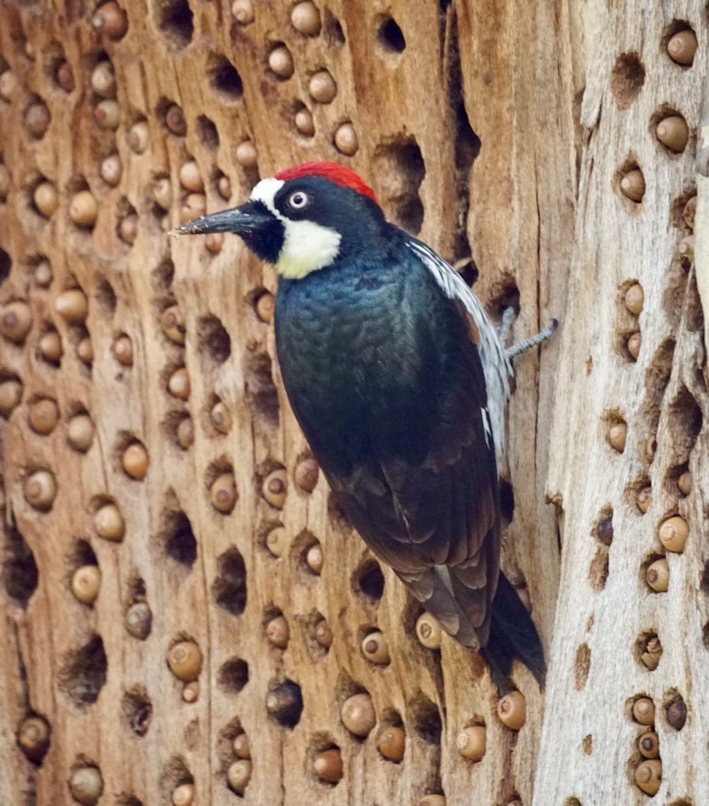 Acorn Woodpecker clings to tree next to holes filled with acorns