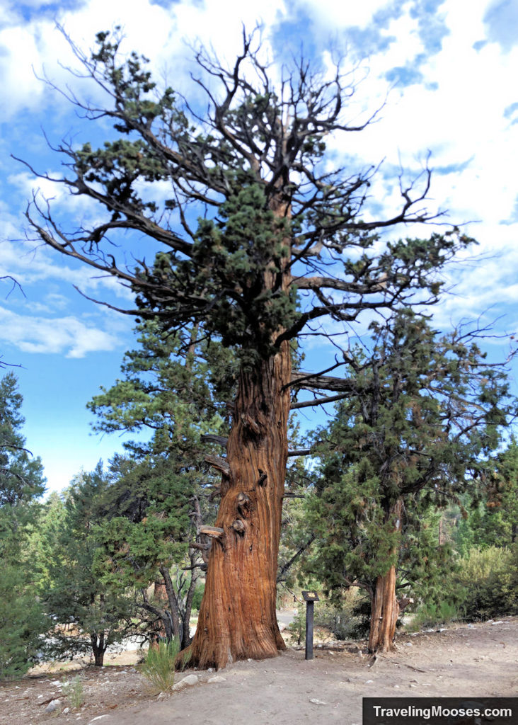 1500 year old Juniper Tree shown at marker number 1