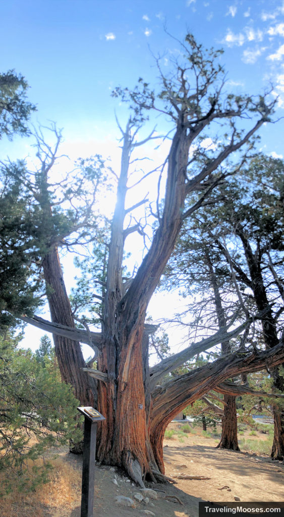 Large Juniper Tree at Interpretive Marker # 16