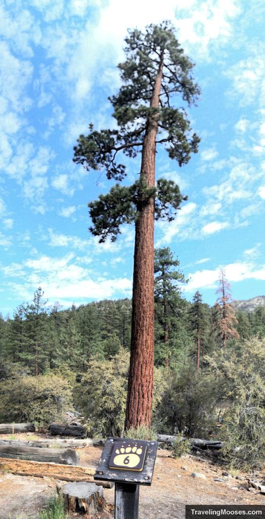 Jeffrey Pine tree stands tall