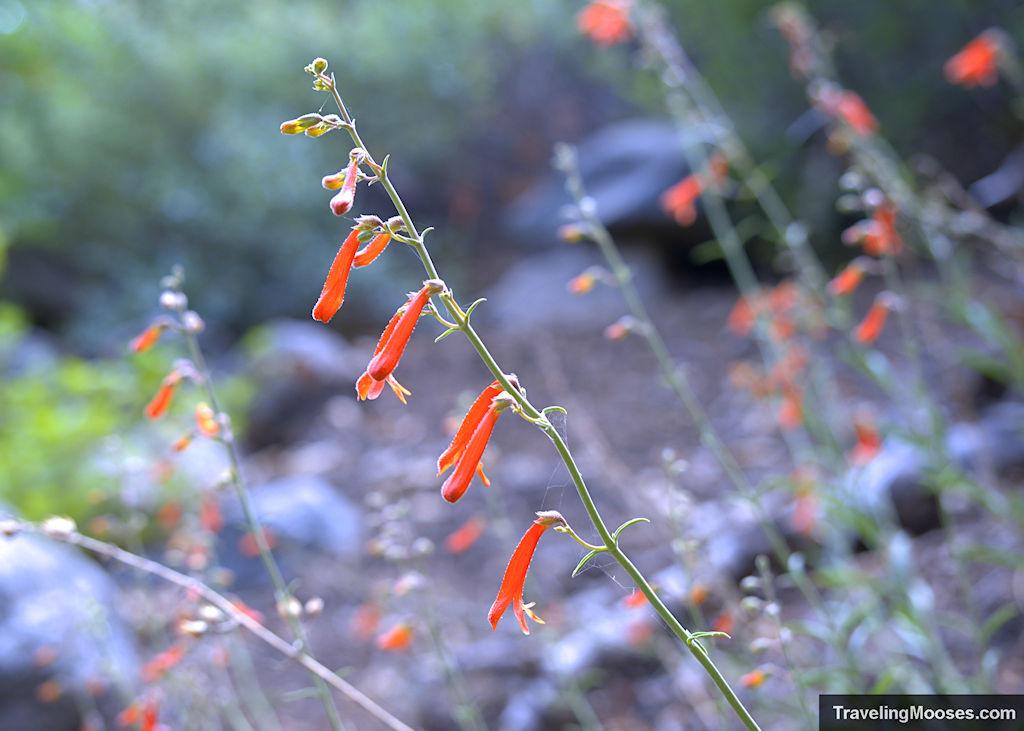 Orange wildflowers along Bobsled Trail