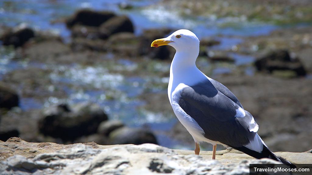 Seagull at Cabrillo Tidal Pool