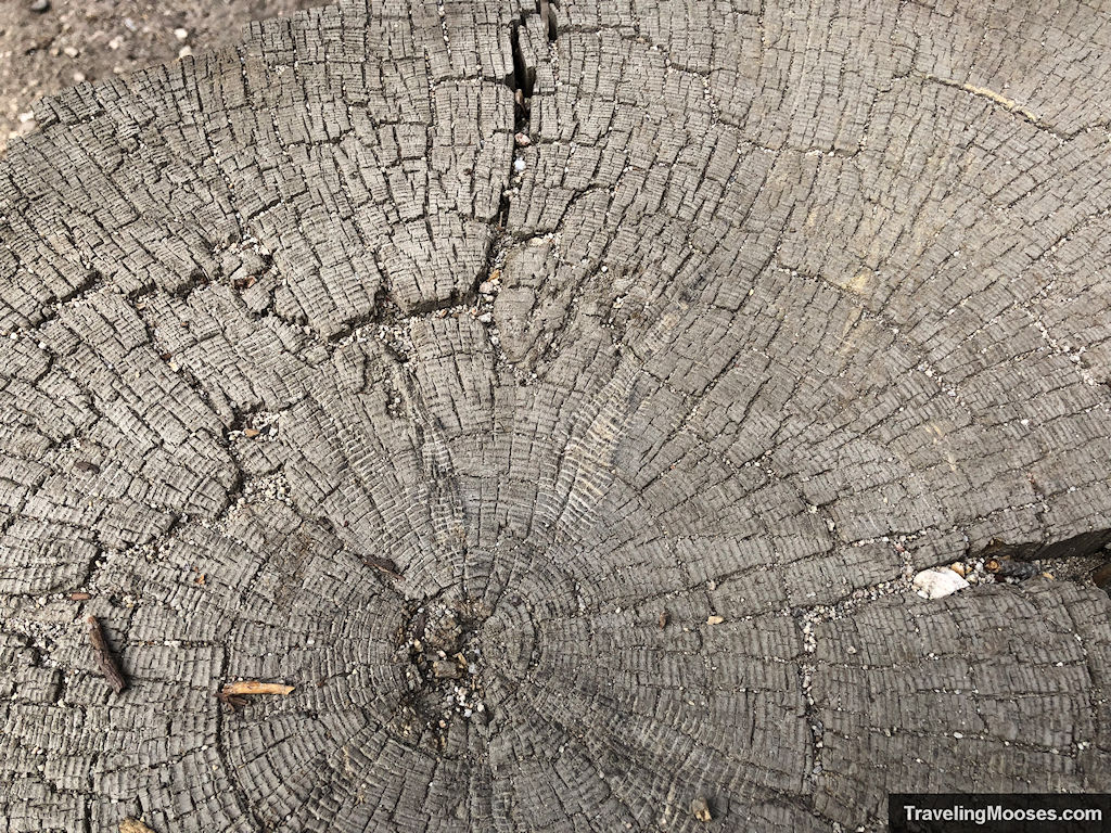 Close up of tree age rings at marker number 8