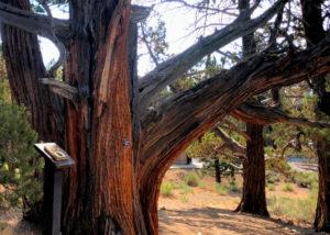 Western Junper Tree