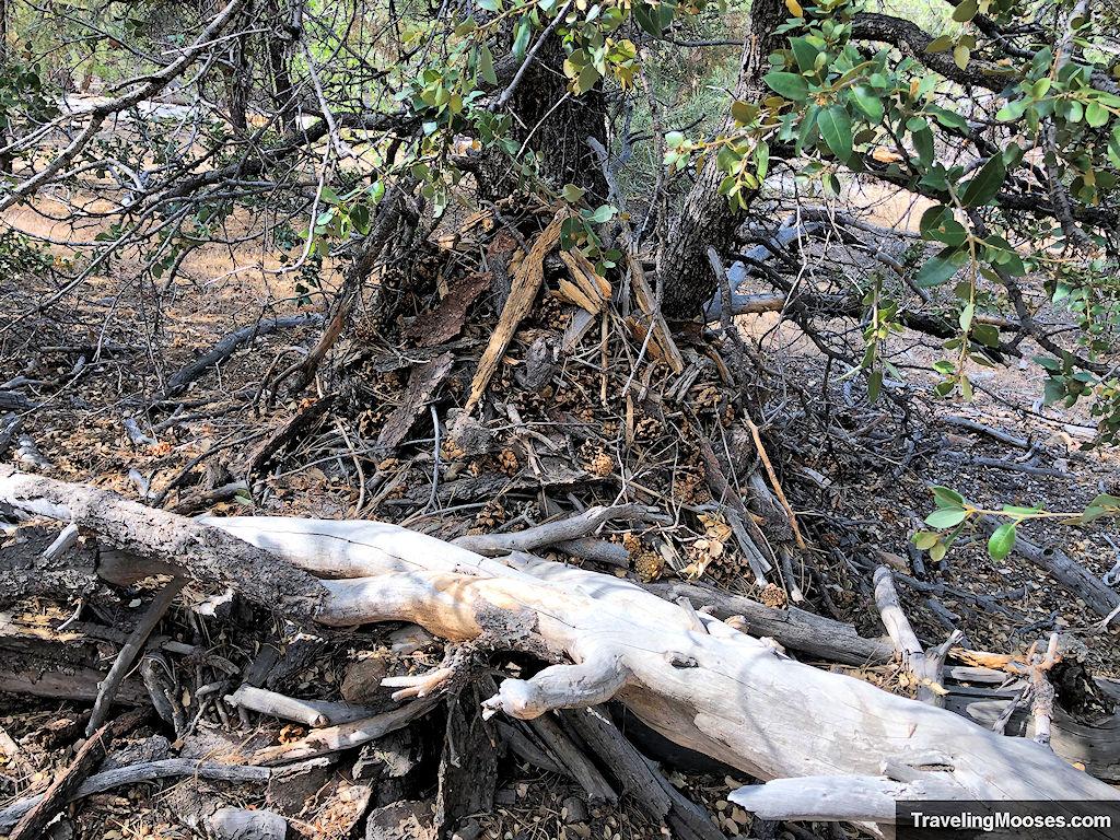 Woodrat Den shown on the forest floor