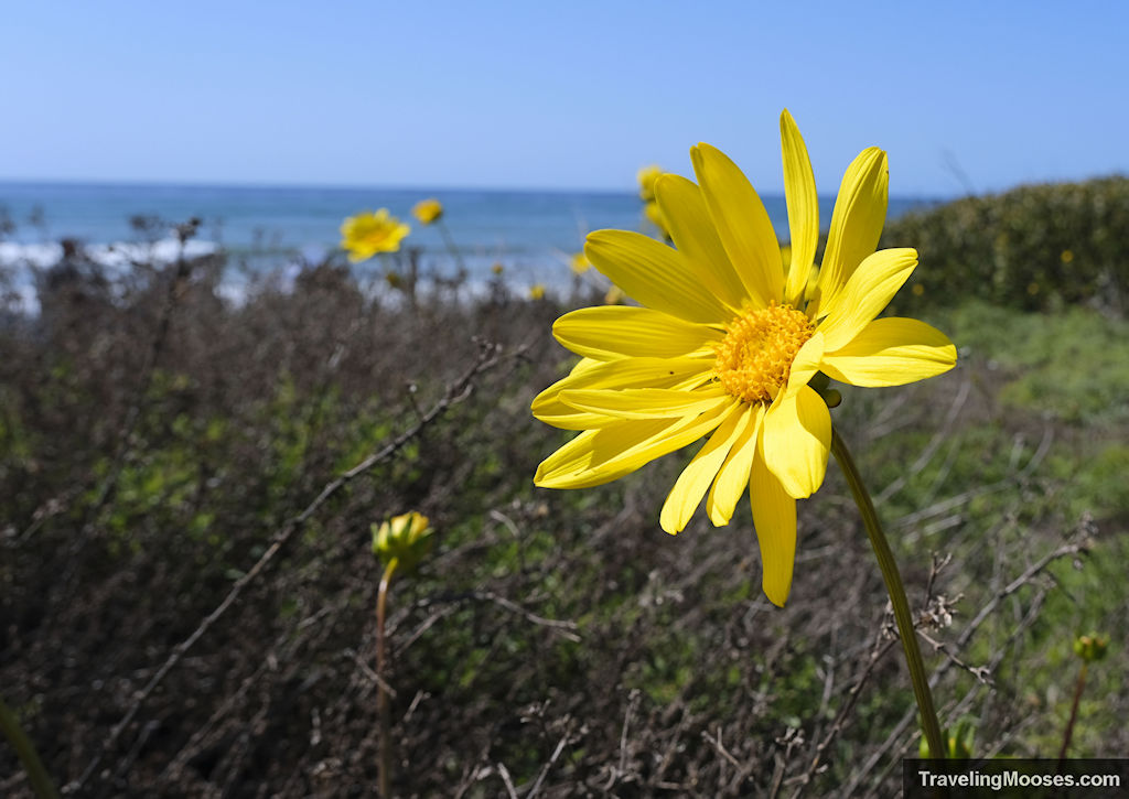 Yellow wildflowers at Cabrillo National Monument