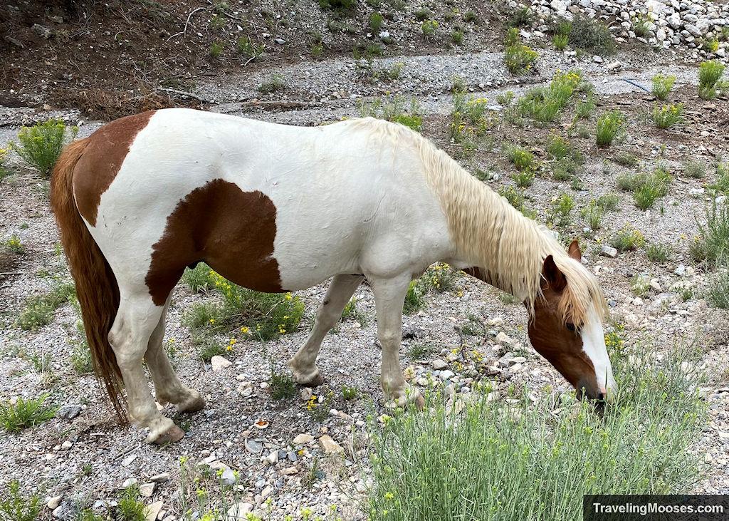 Wildhorse at Lee Canyon