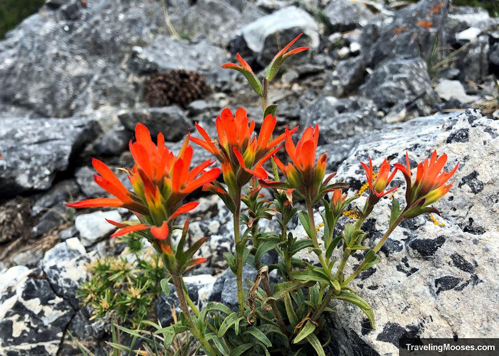 Wyoming Indian Paintbrush flower
