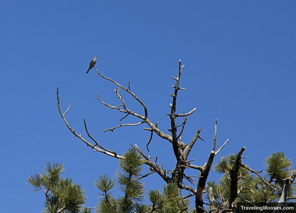 Bird on Cathedral Rock trail on Mt Charelston