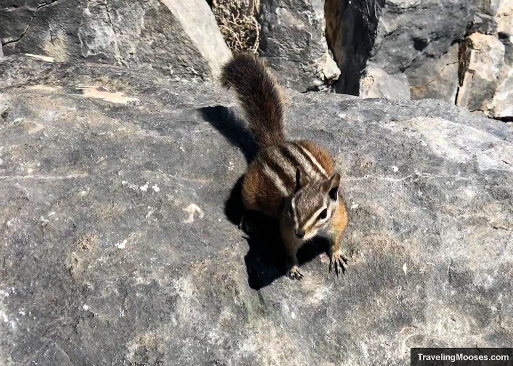 Palmer Chipmunk at Cathedral Rock Trail