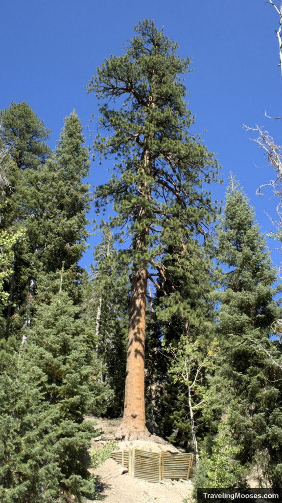 Ponderosa Pine Tree on Cathedral Rock Trail Nevada