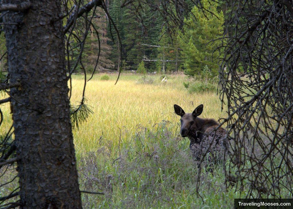Baby moose at Bierstadt Lake trail