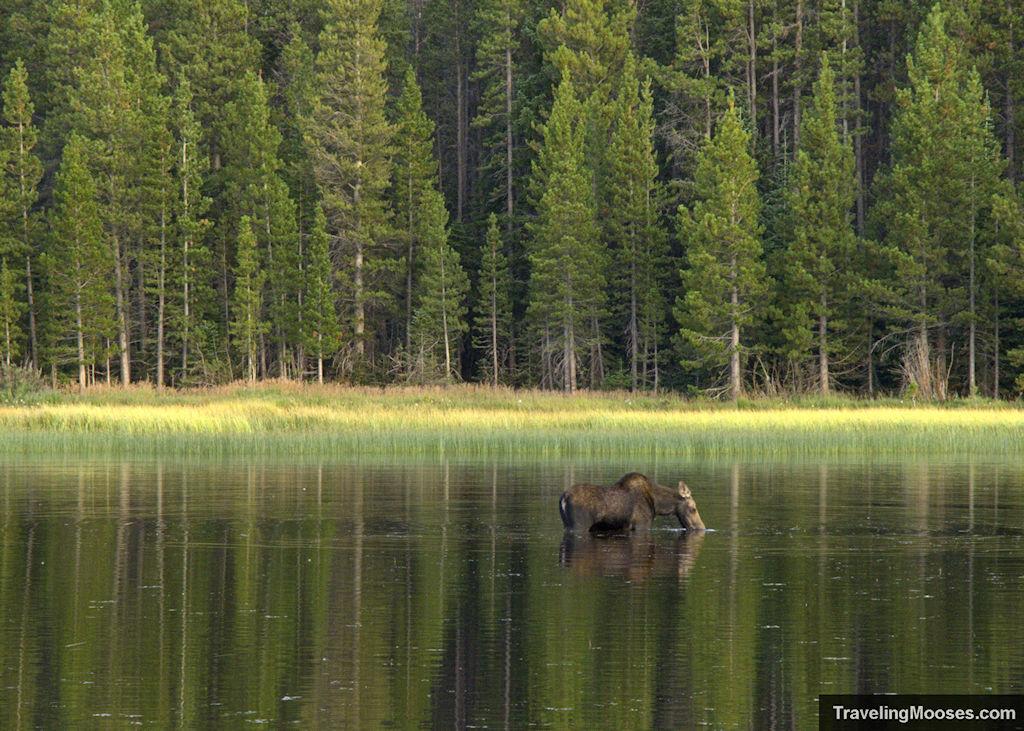 Moose at Bierstadt Lake Trail
