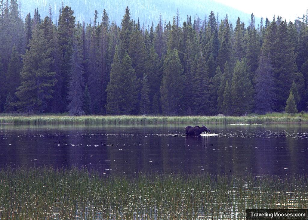 Moose in Bierstadt Lake