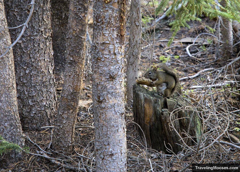 Squirrel on Bierstadt Trail
